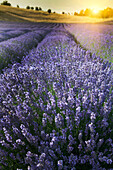 Close up of lavender crops in field, siena, italy, Tuscany