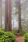 Ladybird Johnson Grove, with giant Coastal Redwoods, California, USA