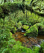 Forest with ferns, moss and stream, Fiordland National park, Southland, South Island, New Zealand