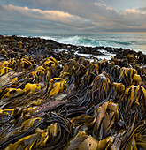 Seaweed on the Waipapa coast, Catlins, Southland, South Island, New Zealand