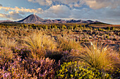 Vegetation, Mount Ngauruhoe, Tongariro Nationalpark, Manawatu-Manganui, North Island, New Zealand
