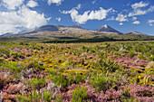 Flowering heather (Ericaceae), Mount Ngauruhoe, Tongariro Nationalpark, Manawatu-Manganui, North Island, New Zealand