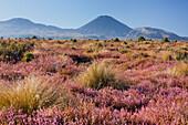 Mount Ngauruhoe with flowering heather (Ericaceae), Tongariro National park, Manawatu-Manganui, North Island, New Zealand