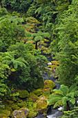 Rainforest, Omanawa Gorge, Bay of Plenty, North Island, New Zealand