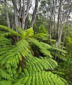 Ferns in Auckland Sentennial Park, Piha, Auckland, North Island, New Zealand