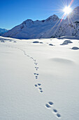 Tracks of a rabbit in snow, Pflersch valley, Stubai Alps, South Tyrol, Italy