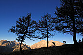 Mountain bikers on mount Feuerpalven, Watzmann in background, Berchtesgadener Land, Upper Bavaria, Germany