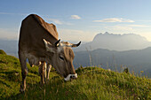 Cattle at Eggenalm, Wilder Kaiser mountains in background, Waidring, Tyrol, Austria