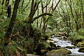 River Fowey at Golitha Falls National Nature Reserve, sessile oak woodland, Bodmin Moor, Cornwall, England, Great Britain