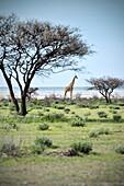 Giraffe between umbrella acacia (typical african tree), Etosha National Reserve, Namibia, Africa