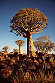 Quiver trees in the quiver tree forest, Keetmanshoop, Namibia, Africa