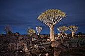Light painting of quiver trees in the quiver tree forest at night, Keetmanshoop, Namibia, Africa