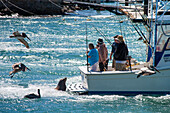 Sea lion and pelicans around a fishing boat in harbour, Cabo San Lucas, Baja California Sur, Mexico