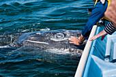 Man touching a gray whale (Eschrichtius robustus) during a whale-watching trip, Loreto, Baja California Sur, Mexico