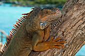 Iguana (Ctenosaura similis), Xel-Ha Water Park, Tulum, Riviera Maya, Quintana Roo, Mexico