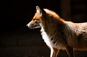 Fox in animal park, open air museum Verkhniye Mandrogi, Leningrad Oblast, Russia