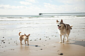 Chihuahua and husky on beach together