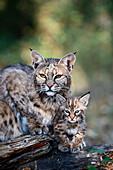 Bobcat and kitten, Montana