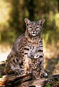 Bobcat with kitten, Bob Marshall Wilderness, Montana