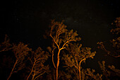 Swaying treetops, lit from below by bush fire with Milky Way above. Arnhem Land, Northern Territory, Australia