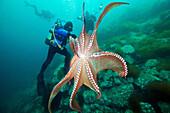 Divers and Giant Pacific Octopus (Enteroctopus dofleini), Sea of Japan