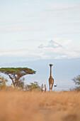 A giraffe walks amongst the acacia trees and before Mount Kilimanjaro, in Amboseli National Park, Kenya