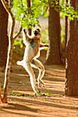 Verreauxs 'Dancing' Sifaka, Berenty Reserve, Madagascar. These Lemurs have evolved to run across ground when tree canopies are too far apart.