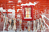 Reindeer skins hung to dry on the side of a wooden cabin in Karasjok, Finnmark region, northern Norway