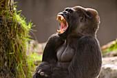 Western Lowland Gorilla yawning