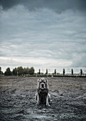 Portrait of large grey dog sitting on wasteland