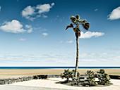 Palm tree at Lanzarote, Spain