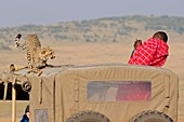 A Masai guide taking pictures of a young cheetah.