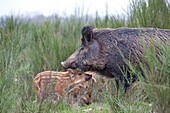 France, Haute Saone, Private park , Wild Boar ( Sus scrofa ) , sow and babies ( piglets ).