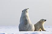 United States , Alaska , Arctic National Wildlife Refuge , Kaktovik , Polar Bear( Ursus maritimus ) , mother with one cub along a barrier island outside Kaktovik, Alaska. Every fall, polar bears (Ursus maritimus) gather near Kaktovik on the northern edge