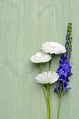 Bellis perennis and Veronica plumosa