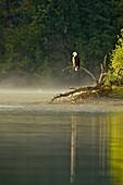 Bald Eagle (Haliaeetus leucocephalus) Alert for spawnig salmon and salmon carcasses along the Chilko River.