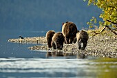 Grizzly bear (Ursus arctos)- Family hunting and feeding along a riverbank during the sockeye salmon run, Chilcotin Wilderness, BC Interior, Canada.