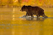 Grizzly bear (Ursus arctos)- Yearling (second-year) cub wading in a salmon river during the autumn spawning season, Chilcotin Wilderness, BC Interior, Canada.