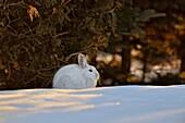Varying/snowshoe hare (Lepus americanus) Late winter near a cedar hedge.