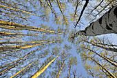 Looking up at emerging spring foliage in an aspen woodlot, Greater Sudbury, Ontario, Canada.