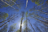 Looking up in a birch woodland with emerging spring foliage, Greater Sudbury (Lively), Ontario, Canada.