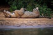 Jaguar lying on the back on sand bank, close to water, Pantanal, Brazil.
