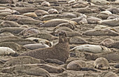 Male Elephant Seal Barking Amidst A Throng Of Female Elephant Seals At A Rookery.