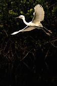 Snowy Egret, Florida.
