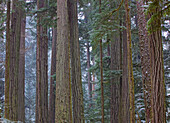 Snow Covered Trees In Cathedral Grove Near Port Alberni, Vancouver Island, British Columbia.