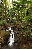 Stream Running Through The Rainforest Near Hilo, Big Island, Hawaii