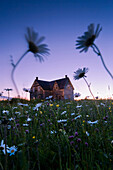 Artist's Choice: Oxeye Daisies And Abandoned House At Dusk, Perce, Gaspesie, Quebec