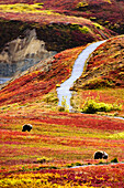 Grizzly Bears And Fall Colours, Denali National Park, Alaska