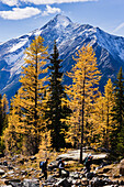 Artist's Choice: Hikers, Larch Trees And Mount Owen, Yoho National Park, British Columbia