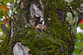 'Chipmunk In A Maple Tree; Ontario Canada'